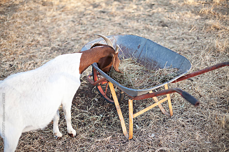 A hungry goat eats straw from a wheel barrow by Natalie JEFFCOTT for Stocksy United