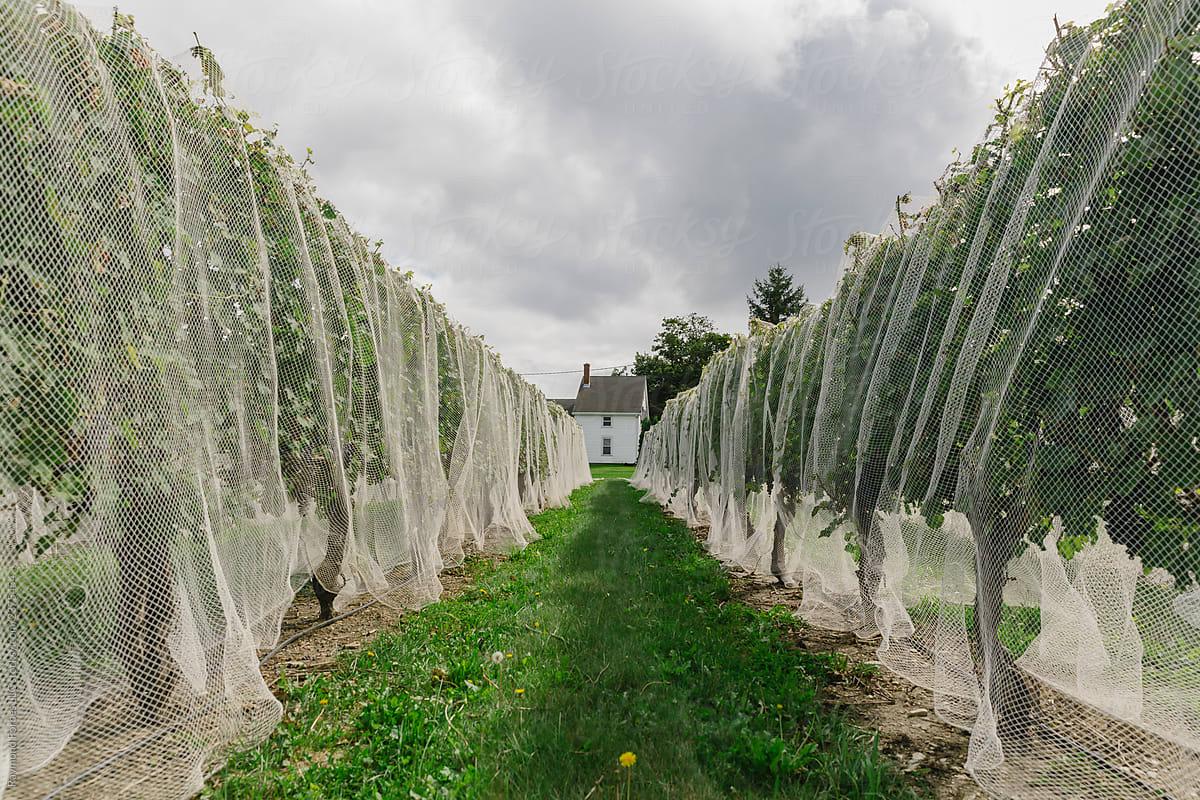 Stock Photo - Bird Netting At Wine Vineyard In Summer