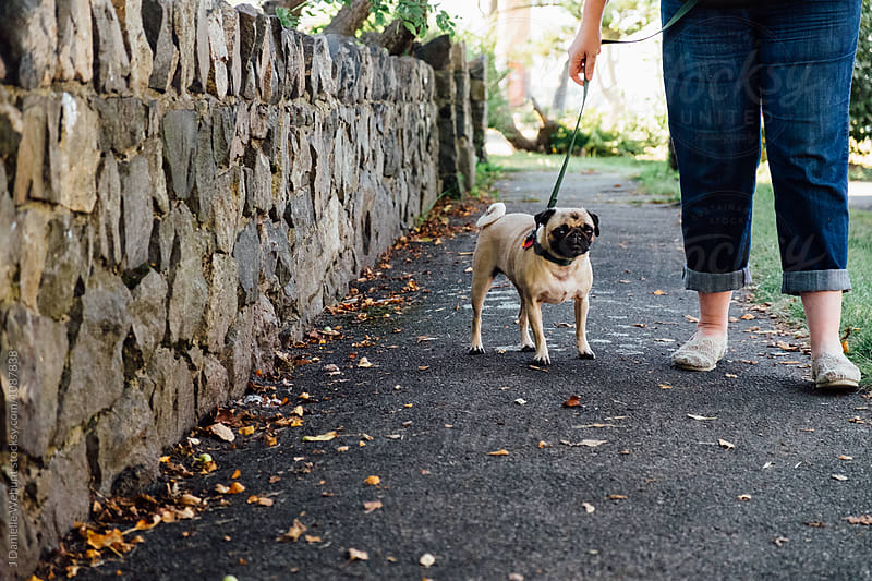 A cute pug puppy out on a walk with its owner by J Danielle Wehunt for Stocksy United