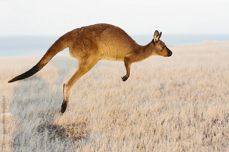 Hopping Kangaroo by Cameron Zegers for Stocksy United