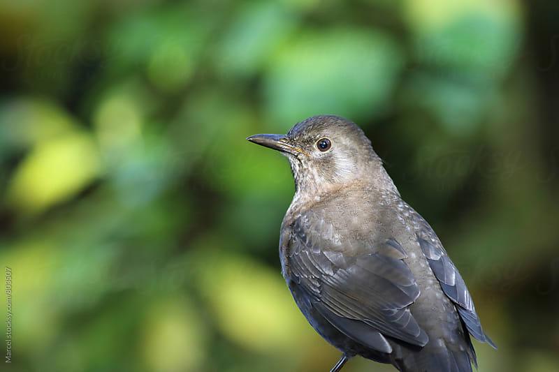 female blackbird in a garden by Marcel for Stocksy United