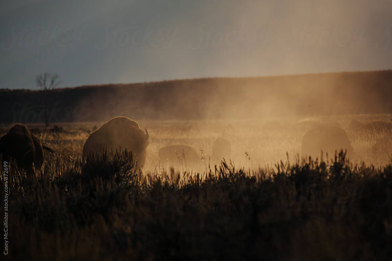 Yellowstone Buffalo by Casey McCallister for Stocksy United