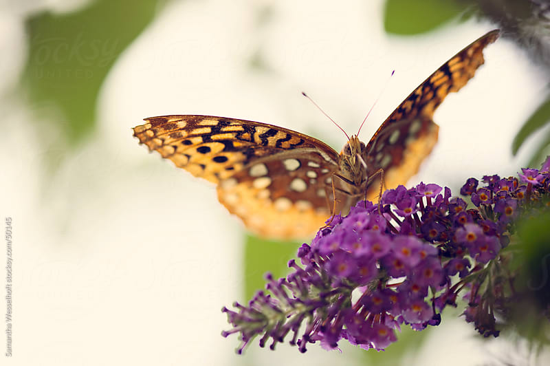 golden butterfly on butterfly bush 2 by Samantha Wesselhoft for Stocksy United