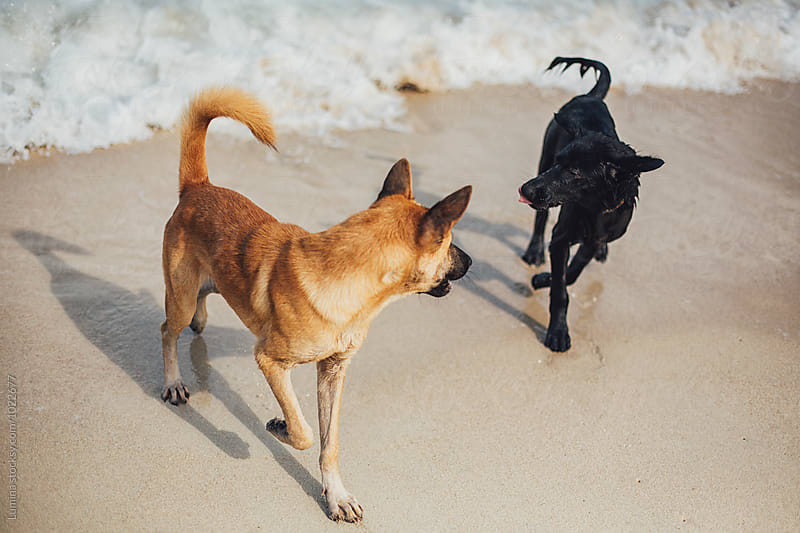 Two Dogs on the Tropical Sandy Beach by Lumina for Stocksy United