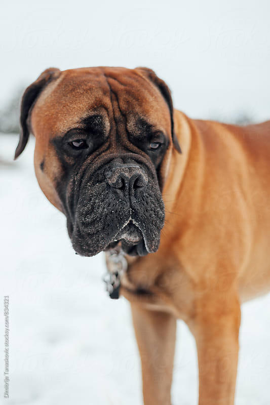 Adult bull mastiff in the snow by Dimitrije Tanaskovic for Stocksy United