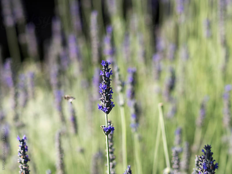 Flowering Lavender plants with a bee by DV8OR for Stocksy United
