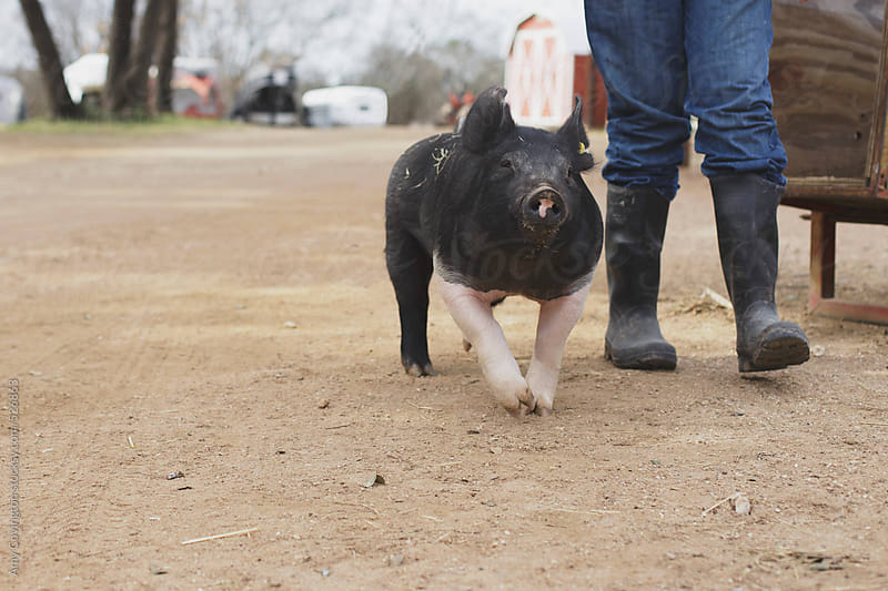 A pig walking with his caretaker by Amy Covington for Stocksy United