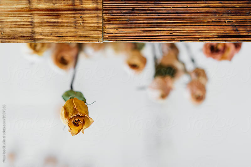 Close up of dried roses hanging on a window by Maa Hoo for Stocksy United