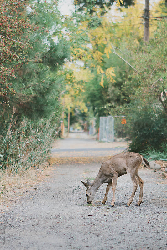Wild urban deer walking through city streets in the summer by Mihael Blikshteyn for Stocksy United