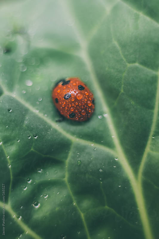 ladybug in a plant with water drops by Javier Pardina for Stocksy United