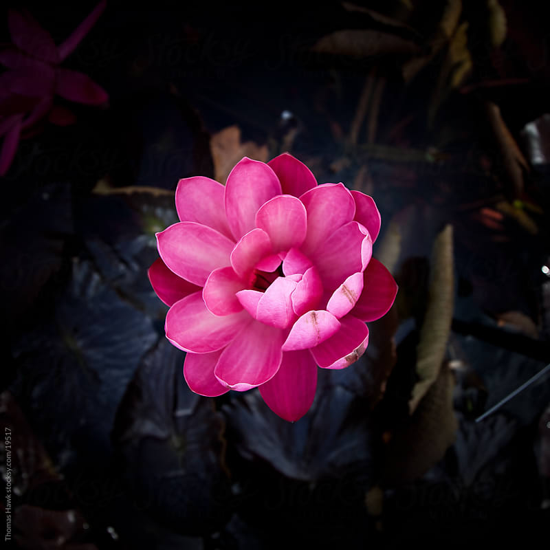 water lily by Thomas Hawk for Stocksy United