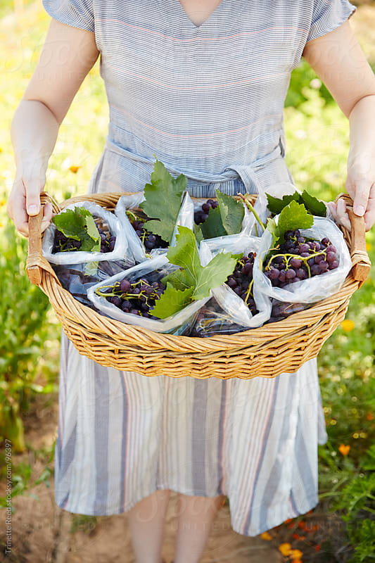 Woman holding basket of grapes on organic farm by Trinette Reed for Stocksy United