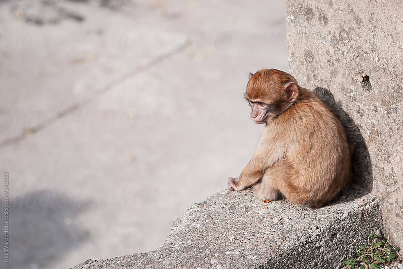 Baby Barbary ape by Neil Warburton for Stocksy United