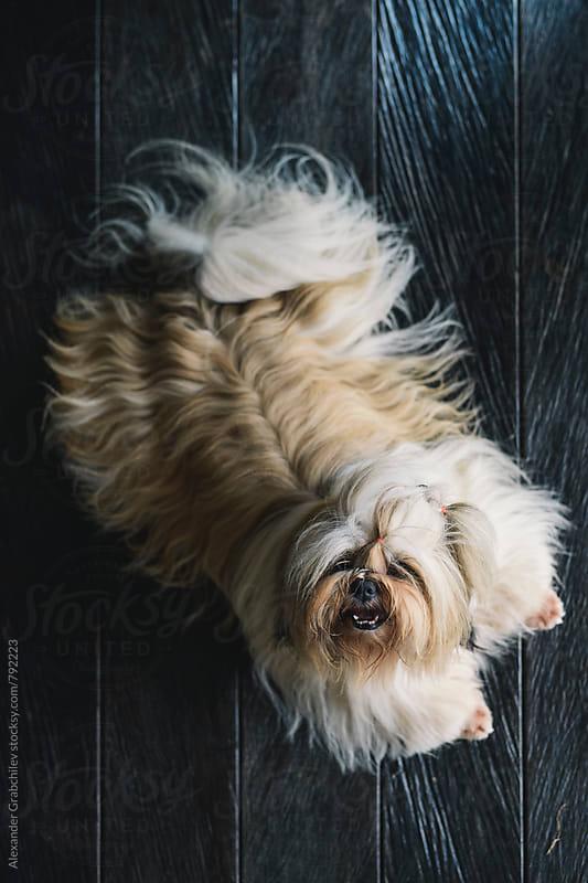 Cutie Dog by Alexander Grabchilev for Stocksy United