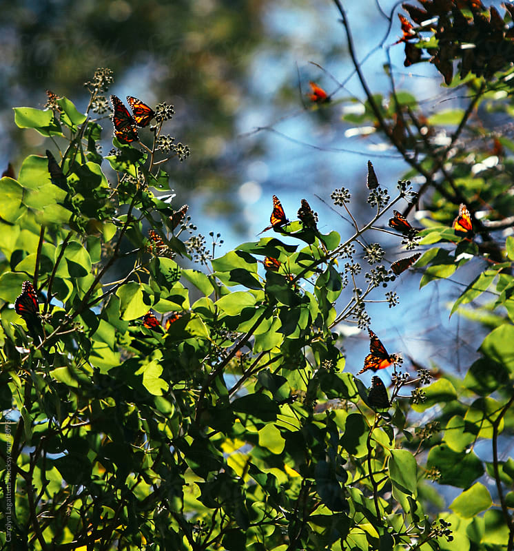 Many Monarch butterflies gathered on a tree by Carolyn Lagattuta for Stocksy United
