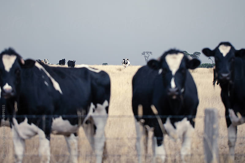 One cow standing out amongt a herd by Rowena Naylor for Stocksy United