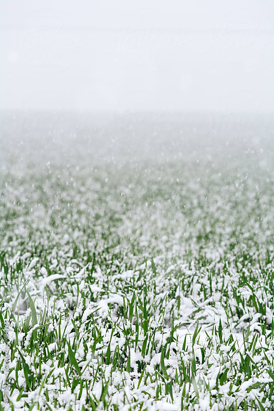Spring snow falling on young wheat plants by Pixel Stories for Stocksy United