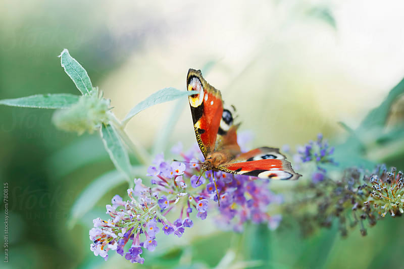 Peacock butterfly perching on violet buddleia flower in summer garden by Laura Stolfi for Stocksy United