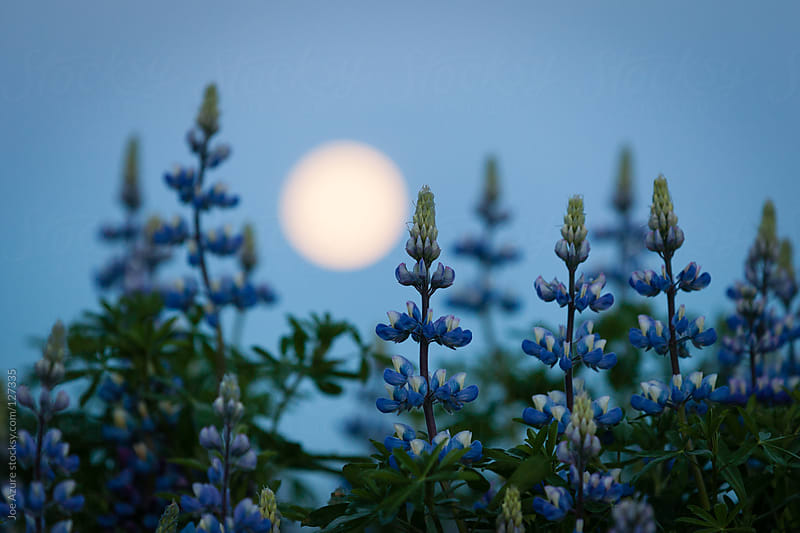 Full Moon and Lupine by Joe Azure for Stocksy United