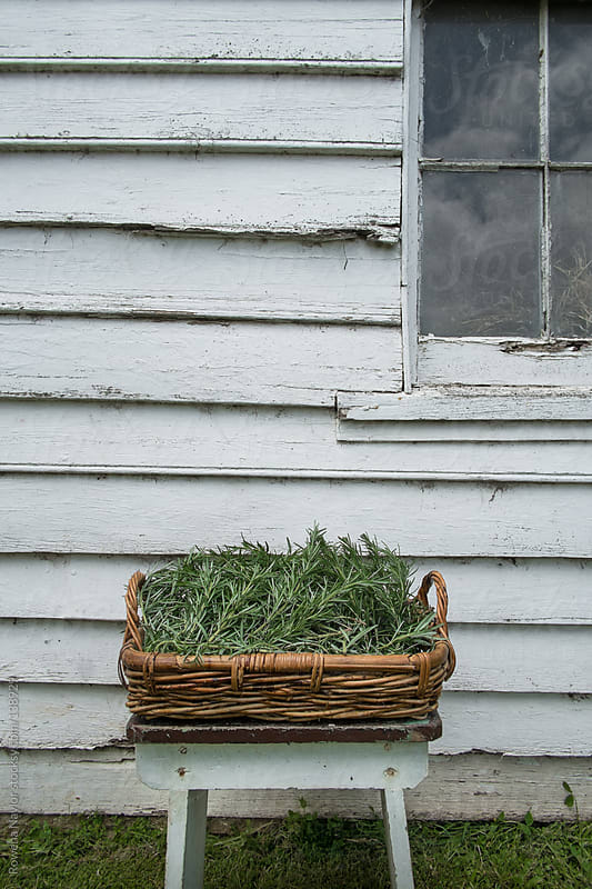 Organic Rosemary Just Harvested by Rowena Naylor for Stocksy United