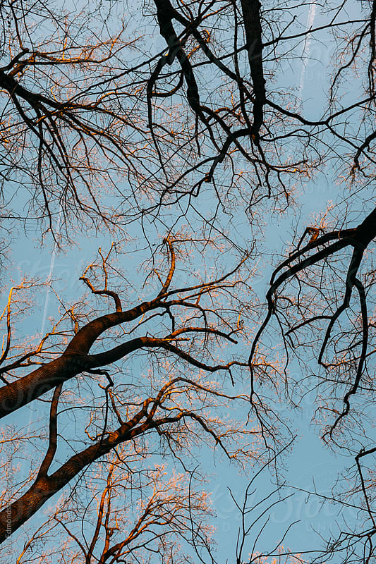 Bare trees in forest at dusk, low angle view by Paul Edmondson for Stocksy United