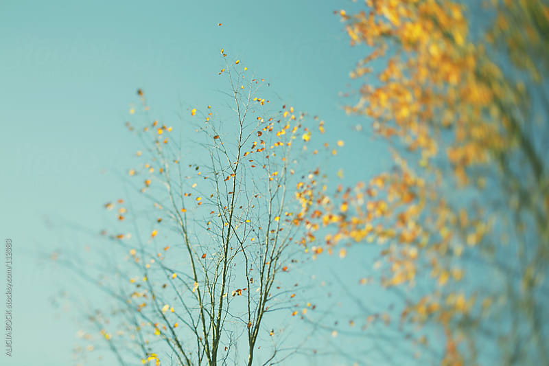 Yellow Autumn Leaves by ALICIA BOCK for Stocksy United