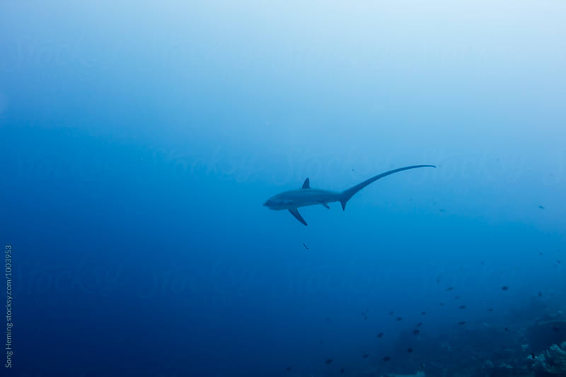thresher shark moving in blue sea by Song Heming for Stocksy United