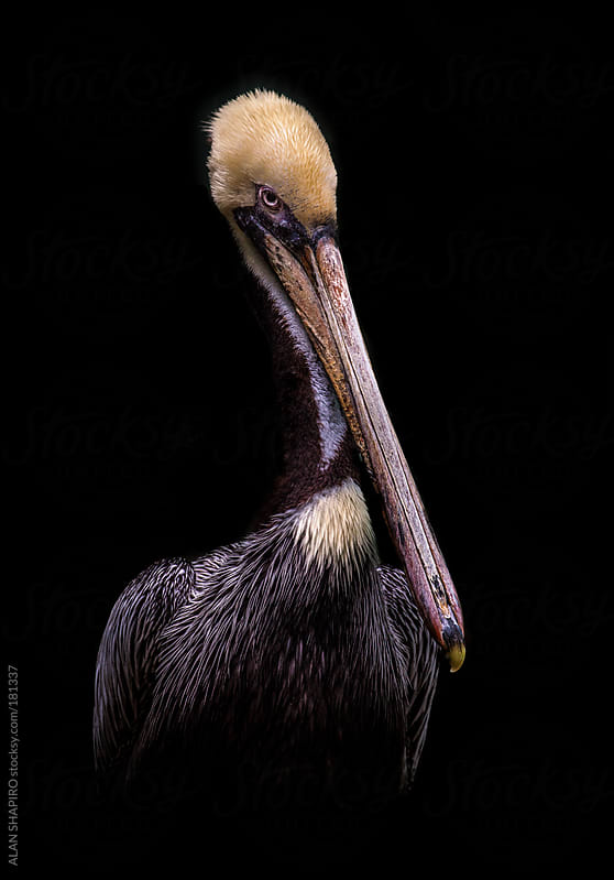 Pelican in the studio by ALAN SHAPIRO for Stocksy United