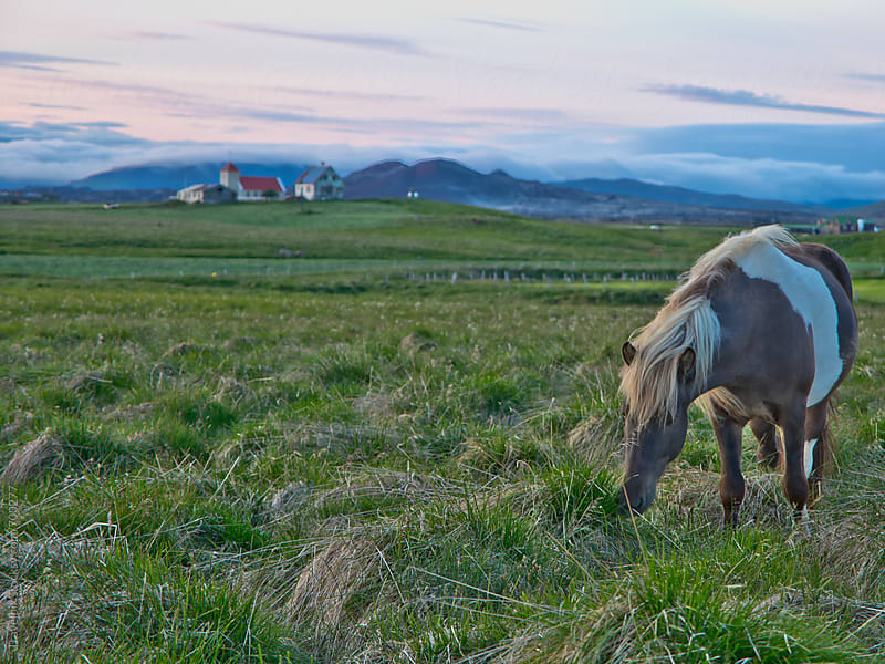 Icelandic horse at sunset by Travelpix for Stocksy United