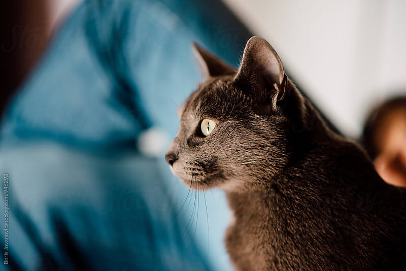 Portrait of beautiful grey cat by Boris Jovanovic for Stocksy United