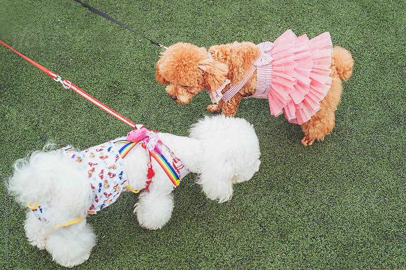 poodle dogs wearing pet clothing by Xunbin Pan for Stocksy United