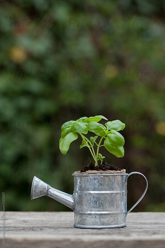 New plants in a watering can by Alberto Bogo for Stocksy United