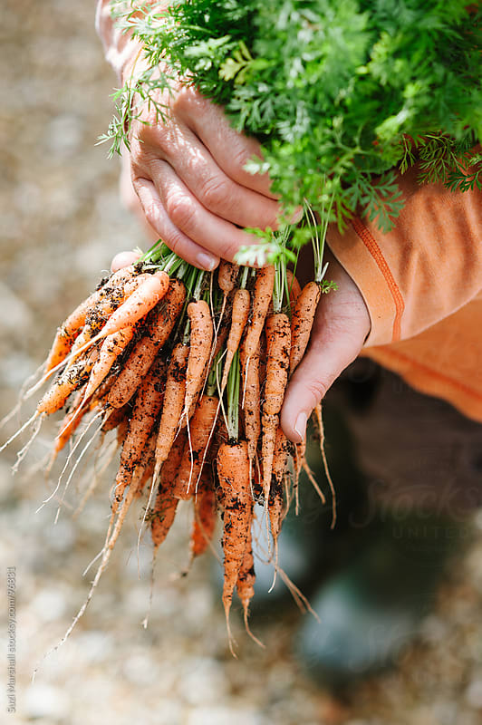 Man holding a bunch of freshly picked carrots by Suzi Marshall for Stocksy United