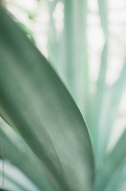 Agave Plant Close Up by Chelsea Victoria for Stocksy United