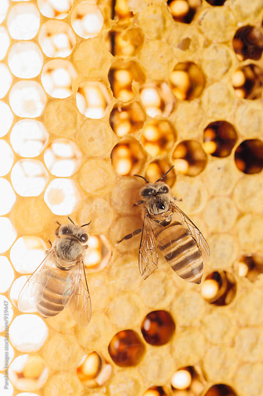 honey bee work on honeycomb by Xunbin Pan for Stocksy United