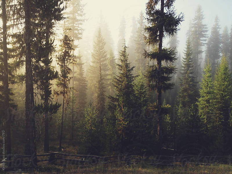 Sunrise Foggy Forest by Kevin Russ for Stocksy United