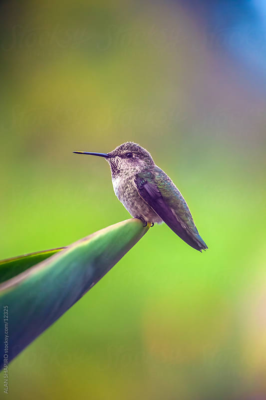 hummingbird by alan shapiro for Stocksy United