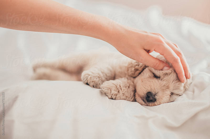 Hands petting a puppy. by Studio Firma for Stocksy United