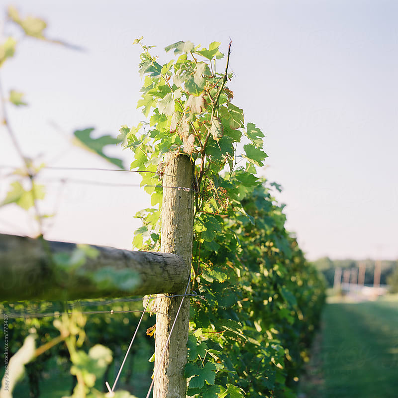 Grapevines crawl up a wire fence at a winery / vineyard on a summer evening by Joey Pasco for Stocksy United