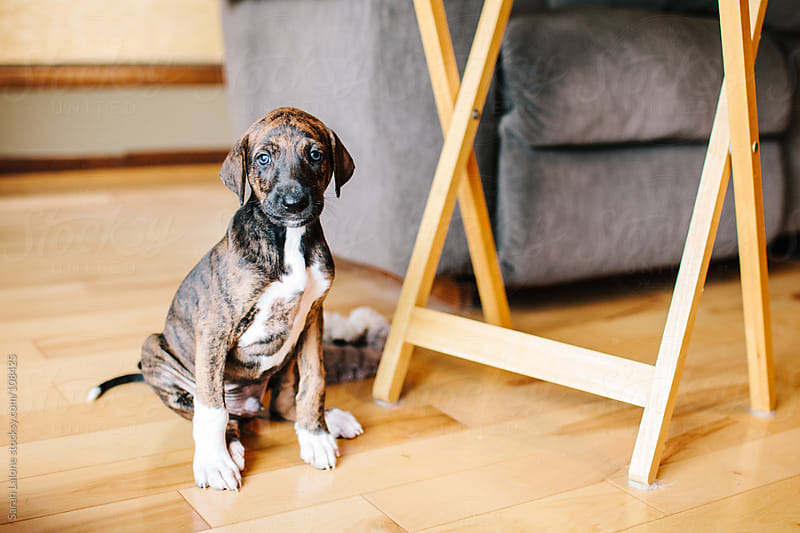 brindle azawakh hound puppy by Sarah Lalone for Stocksy United