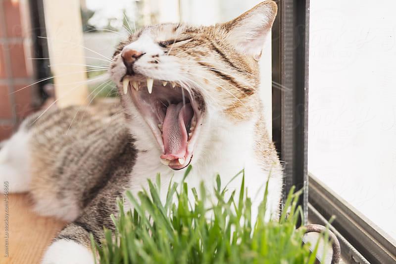 Cat is yawning near the window by Lawren Lu for Stocksy United