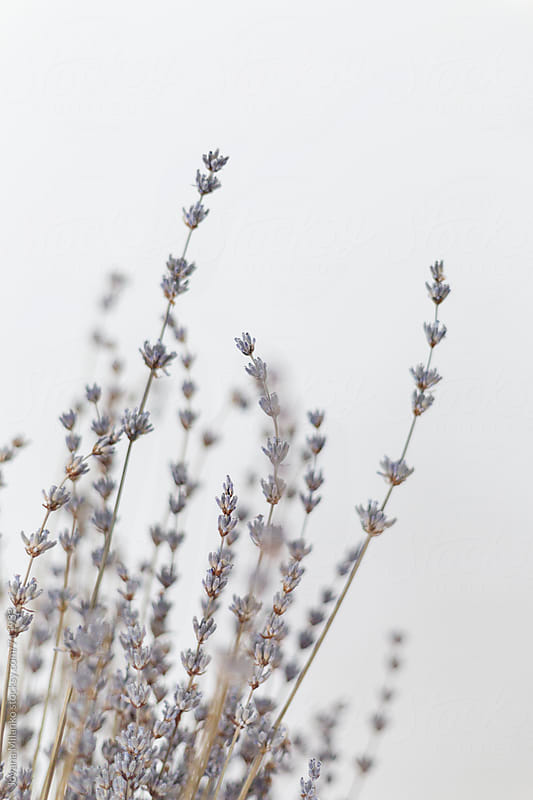 Dryed lavender on white background by Jovana Milanko for Stocksy United