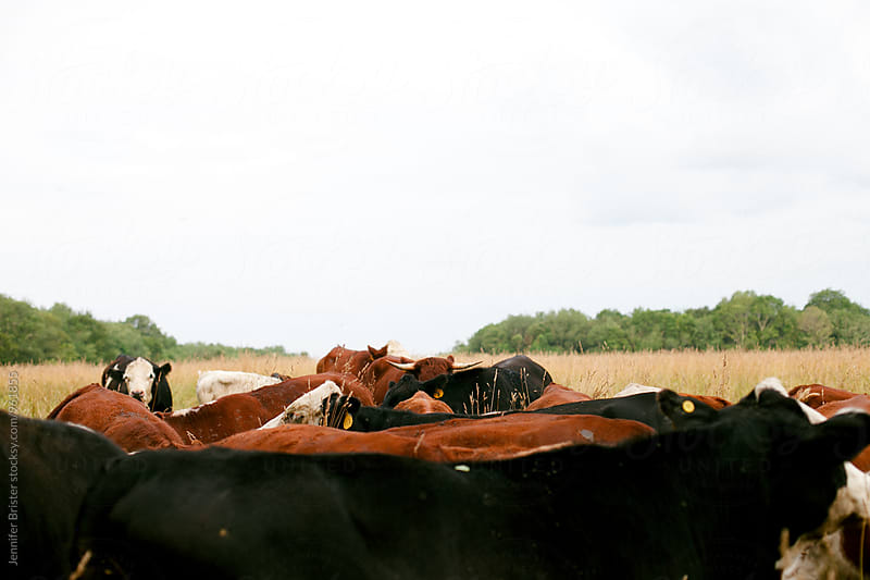 cows in field  by Jennifer Brister for Stocksy United