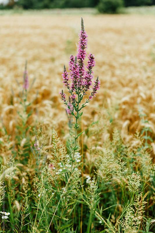 Wheat field by Dimitrije Tanaskovic for Stocksy United