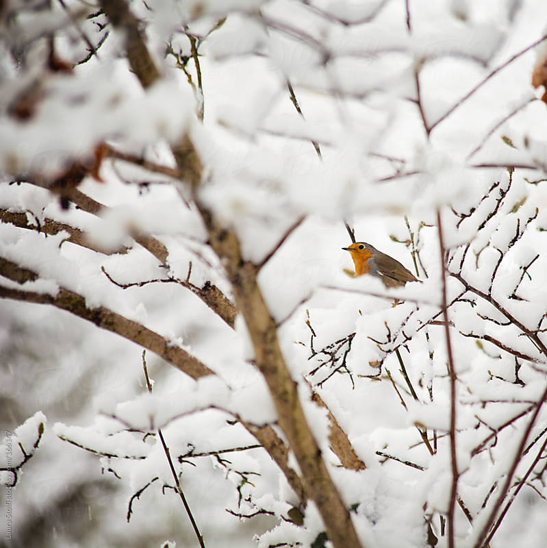 Bird perching on covered in snow tree branch by Laura Stolfi for Stocksy United