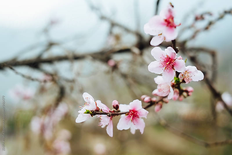 Cherry blossom by Artem Zhushman for Stocksy United