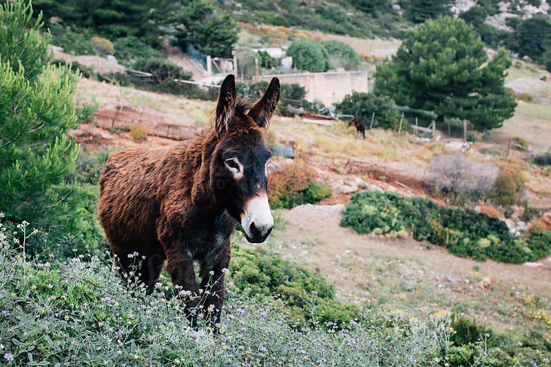 Donkey in Sicilian Island Countryside by Julien L. Balmer for Stocksy United