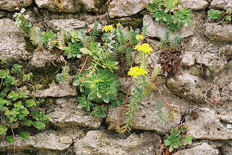 yellow flowers on a stone wall by Léa Jones for Stocksy United