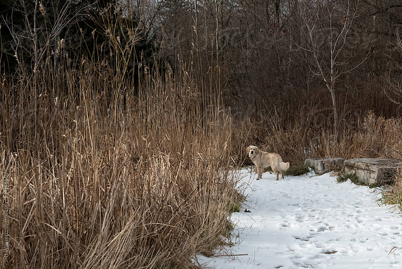 Dog in the Woods in Winter by Jeff Wasserman for Stocksy United