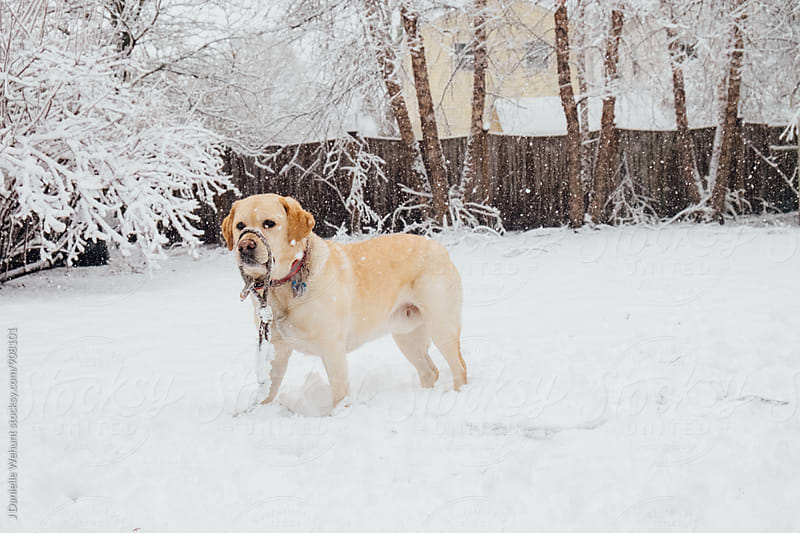 A yellow lab puppy dog playing with his leash in the snow. by J Danielle Wehunt for Stocksy United